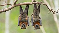 """Coronavírus de morcegos """"não é compatível com células humanas"""""""